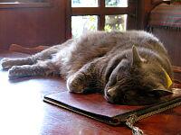 メニューを枕にして眠る猫